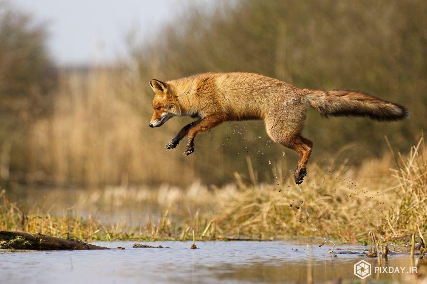 The-Dune-Foxes-of-the-Netherlands-57615a228d0af__880